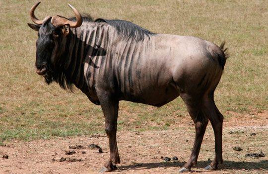 Carnes Exóticas Wagyu
