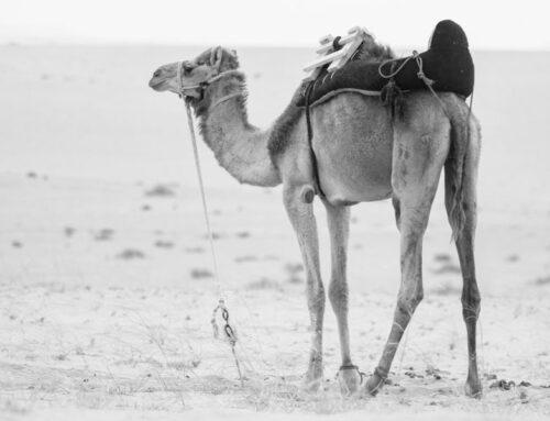 Propiedades de la carne de camello