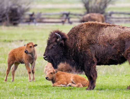 Propiedades de la carne de bisonte